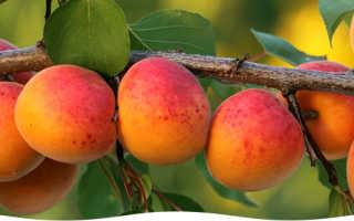 Как правильно посадить абрикос: советы садоводам