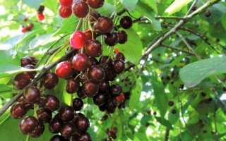Гибриды вишни и черемухи