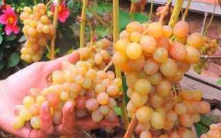 Виноград Тасон: описание сорта, фото и отзывы садоводов