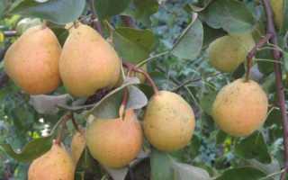 Груша Северянка краснощекая — описание сорта, фото, отзывы садоводов