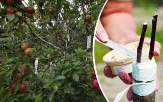 Прививка яблонь летом для начинающих