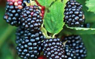 Ежевика Орегон Торнлесс — описание сорта, характеристика, выращивание, фото и отзывы