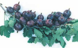 Крыжовник Ласковый — описание сорта, фото и отзывы садоводов