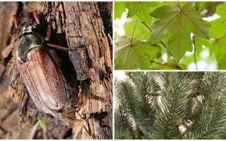 Что едят майские жуки?