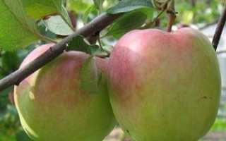 Зимние сорта яблонь — отвечаем на вопросы дачников