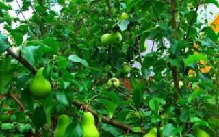 Как на яблоню привить грушу?