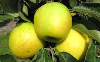 Яблоня колоновидная Малюха — описание сорта, фото, отзывы