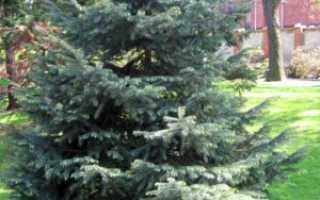 Ель Энгельмана: описание хвойного дерева. принцип разведения