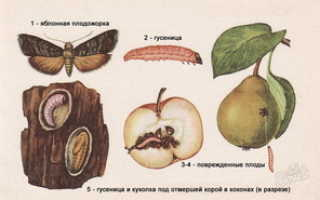 Плодожорка на яблоне — методы борьбы