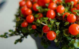 Нертера: как ухаживать за коралловой ягодой в домашних условиях