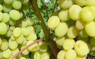 Виноград Августин: описание сорта, фото и отзывы садоводов