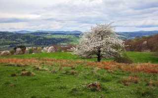 Как цветет вишня?