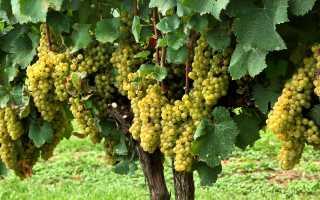 Виноград Шардоне: описание сорта, фото и отзывы садоводов