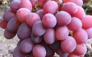 Виноград Памяти Хирурга: описание сорта, фото и отзывы садоводов