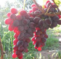 Виноград Рубиновый Юбилей: описание сорта, фото и отзывы садоводов