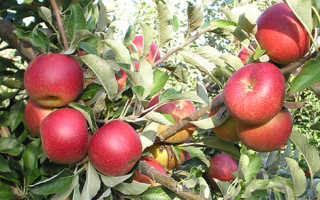 Яблоня Джонатан — описание сорта, фото, отзывы