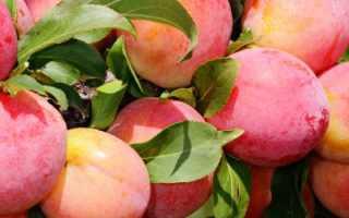 Слива Персиковая — описание сорта, фото, отзывы садоводов