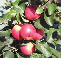 Яблоня колоновидная Арбат — описание сорта, фото, отзывы