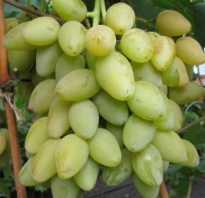 Виноград Мускат: описание сорта, фото и отзывы садоводов