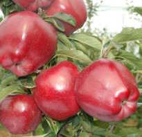 Яблоня Ред Чиф — описание сорта, фото, отзывы