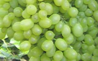 Виноград Алешенькин: описание сорта, фото и отзывы садоводов