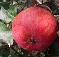 Яблоня Подарок Графскому — описание сорта, фото, отзывы