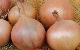 Лук стурон: особенности выращивания сорта