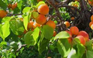 Прививка сливы на абрикос
