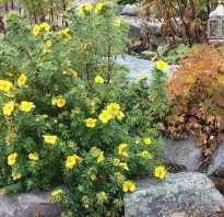 Лапчатка кустарниковая и травянистая, уход и выращивание виды лапчатки с названиями