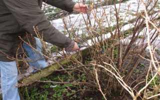 Обрезка кустов смородины весной