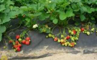 Как пересаживать садовую землянику?