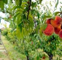 Персик Кремлевский — описание сорта и отзывы садоводов