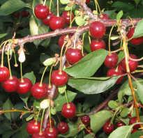 Вишня Апухтинская — описание сорта, фото, отзывы садоводов