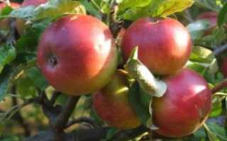 Яблоня Жигулевское — описание сорта, фото, отзывы