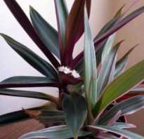Комнатный цветок рео: уход и размножение