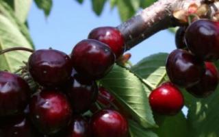 Черешня Ярославна — описание сорта, фото, отзывы садоводов