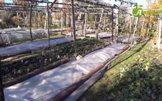 Когда укрывать виноград на зиму в Сибири?