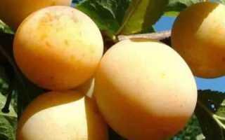 Слива Яхонтовая — описание сорта, фото, отзывы садоводов