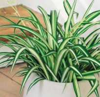 Как спасти хлорофитум от засыхания кончиков листьев