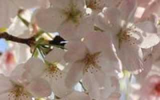 Уход за вишней весной — полезная информация