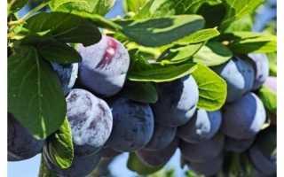 Слива Блюфри — описание сорта, фото и отзывы садовов