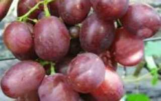 Виноград Памяти Учителя: описание сорта, фото и отзывы садоводов