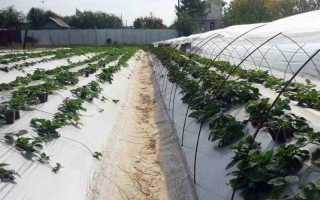 Выращивание клубники и уход