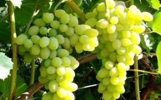 Виноград в Ленинградской области: посадка и уход