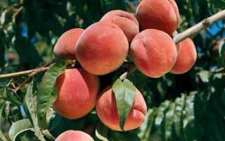 Болезни листьев персика