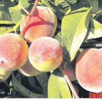 Персик Биг Хани — описание сорта и отзывы садоводов
