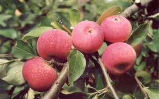 Яблоня Красная Горка — описание сорта, фото, отзывы