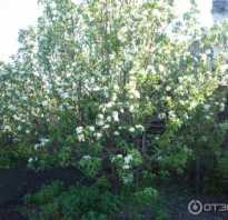 Яблоня Феникс Алтайский — описание сорта, фото, отзывы
