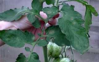 Томат Полосатый Шоколад — описание сорта, отзывы, урожайность