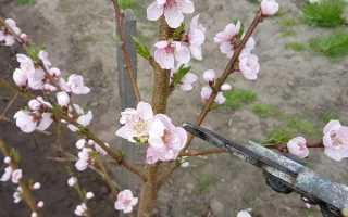 Цветение персика весной